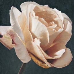 Rose XI, 1998, OOC, 40 x 40 cm