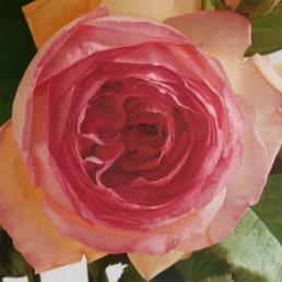 Rose XLI, 2003, OOC, 145 x 145 cm