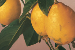 Zitronen III, 2002, OOC, 80 x 120 cm