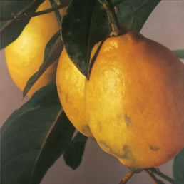 Citrons V, 2003, OOC, 39 x 39 in
