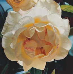 Rose XXIII, 2001, OOC, 145 x 145 cm
